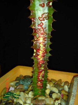 گیاه آپازتمانی افوربیا
