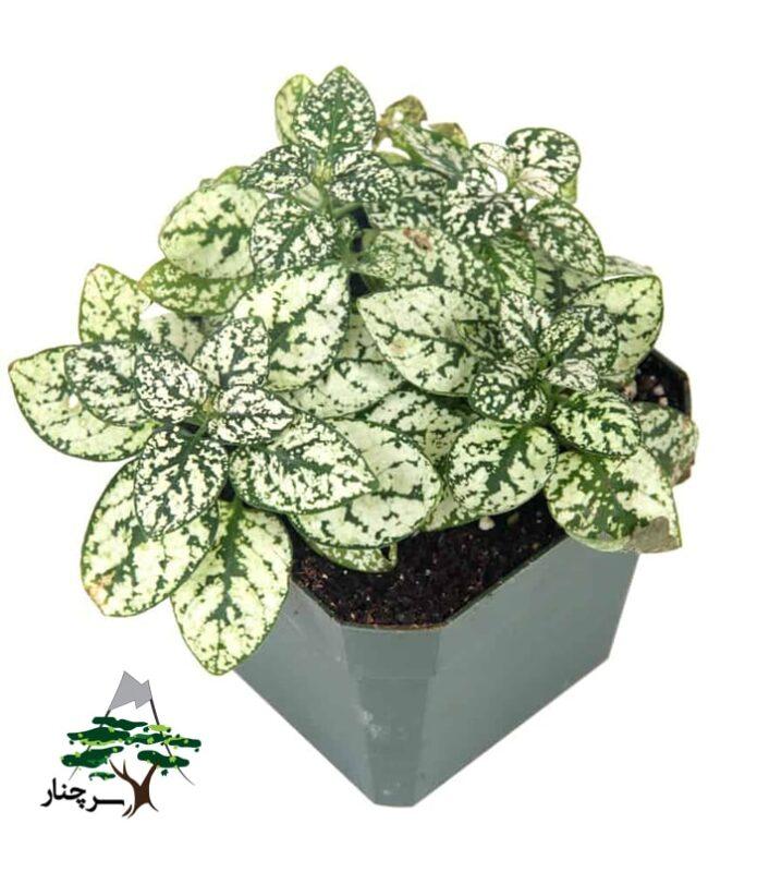 White-splash-plant