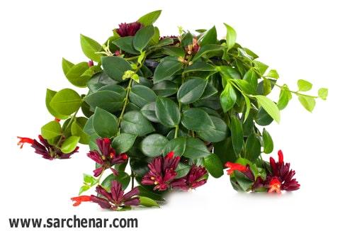 گل اسکینانتوس