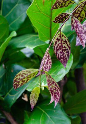 بیماریهای گیاه اسکینانتوس
