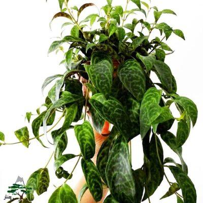 چگونه از گل اسکینانتوس در خانه نگهداری کنیم؟