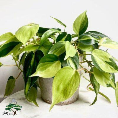 گل فیلودندرون-گیاهان آپارتمانی مقاوم به سرما