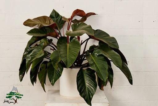 گل فیلودندرون-گیاهان آپارتمانی مقاوم به گرما