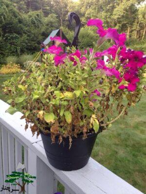 گل اطلسی مناسب کاشتن در فضای باز