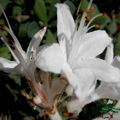 Azalea Fragrant Star