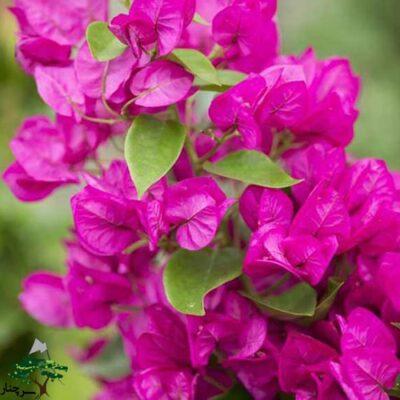 گل کاغذی - Bougainvillea glabra