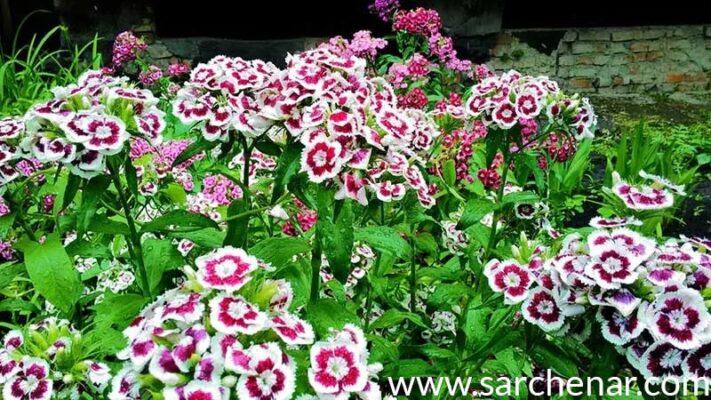 پرورش گل میخک در منزل