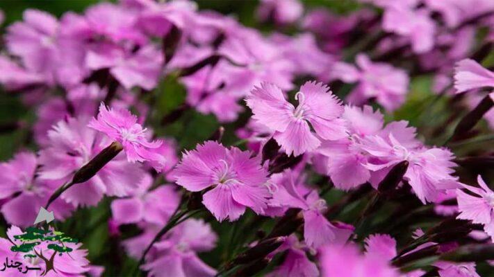 گل میخک