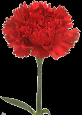 گل میخک استاندارد