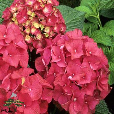 Eldorado Hydrangea - گل ادریسی