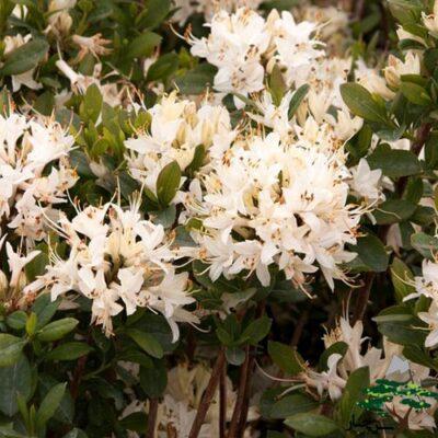آزالیا - Azalea Fragrant Star