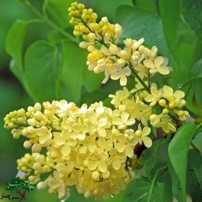 - گل یاس بنفشLilac Primrose - با گل های زرد