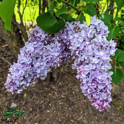 Lilac Wedgwood Blue - دارای گل های ابی