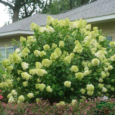 Limelight Hydrangea - گل ادریسی