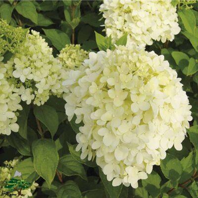گل ادریسی - Limelight Hydrangea