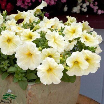 گل اطلسی