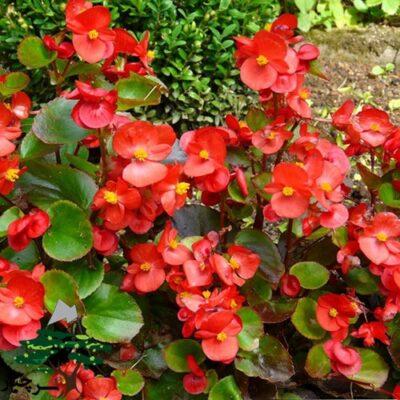 Semperflorens begonia