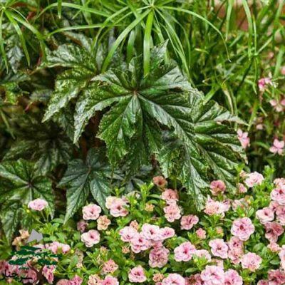 begonia cane - بگونیا