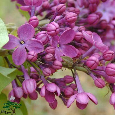 declaration lilac - این نوع در داخل خانه هم شکوفا می شود.