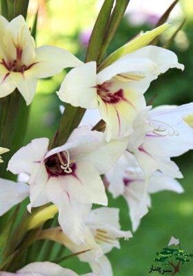 gladiolus Lucky Star
