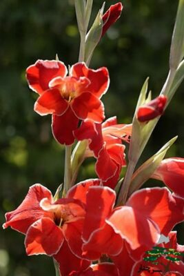 گل گلایل - gladiolus atom