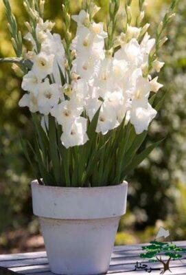 gladiolus glads glamini