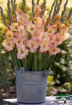 گل گلایل - gladiolus glads glamini