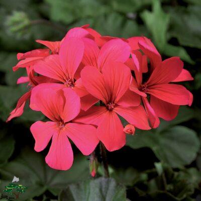 Caliente Hot Coral Geranium