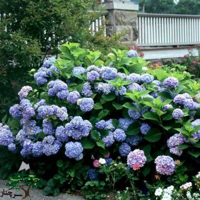 hydrangea nikko blue - گل ادریسی