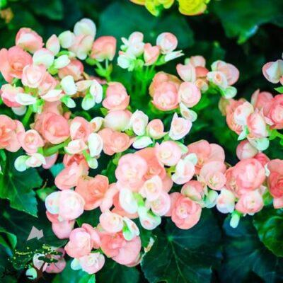 rieger-begonias