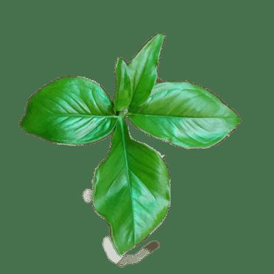 سینگونیوم آریتوم (گیاه پنج انگشتی آپارتمانی)