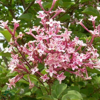 tinkerbelle lilac - با شکوفه های صورتی و مقاوم به آفات مخصوصا کپک