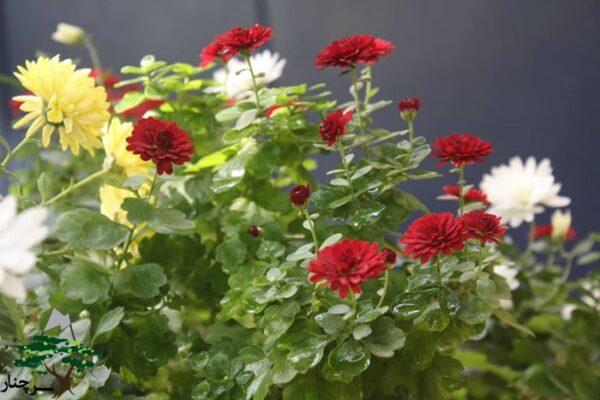 گل داوودی - گل هدیه مناسب کادو دادن