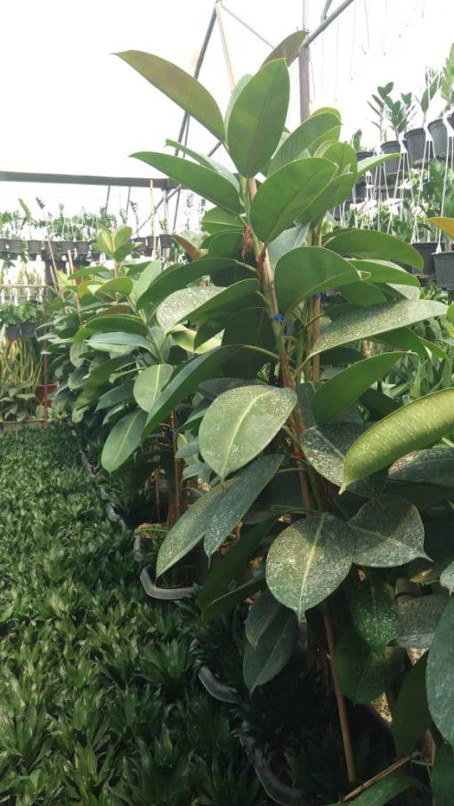 فیکوس الاستیکا سبز تک شاخه
