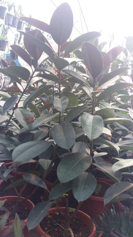 فیکوس الاستیکا بلک تک شاخه