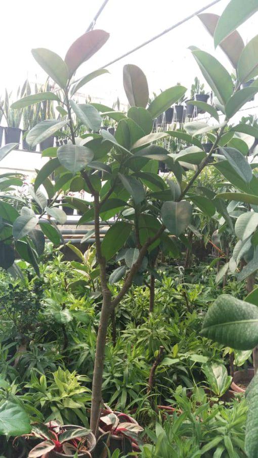 فیکوس الاستیکا سبز چند شاخه