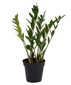 گیاه زامیفولیا