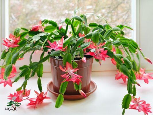 گیاهان آپارتمانی مقاوم به سرما - christmas-cactus