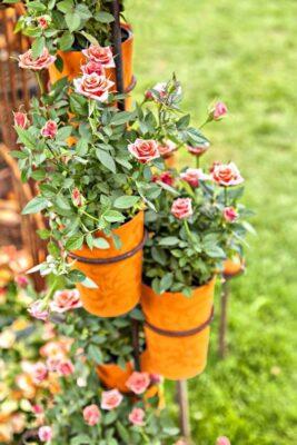 گل رز مینیاتوری گیاهی با رشد سریع