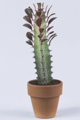 African Milk Tree Cactus