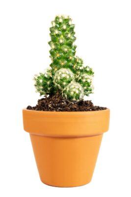 Ladyfinger Cactus