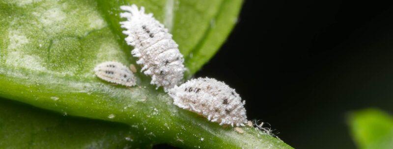 آفات گیاهان - حشرات آرد آلود
