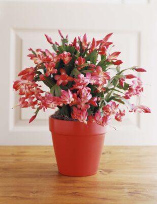christmas cactus گیاهان آپارتمانی مقاوم
