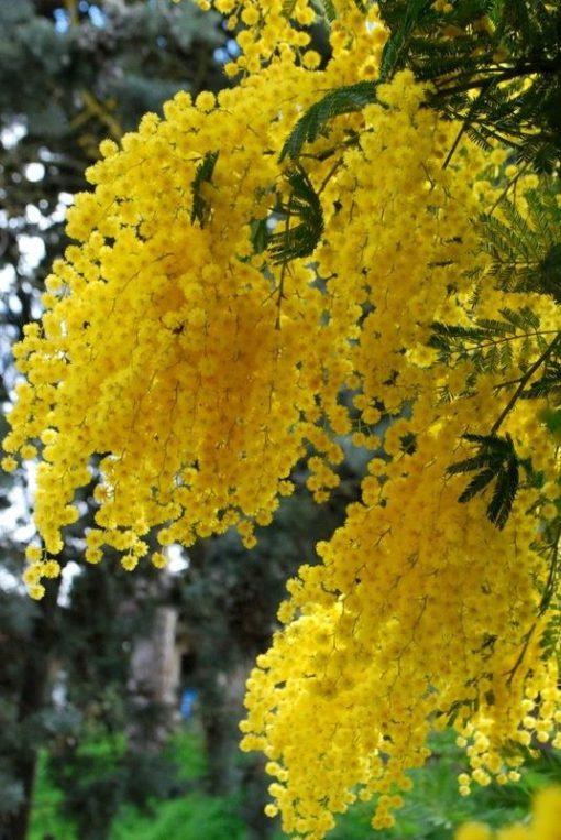 Acacia dealbata درخت آکاسیا