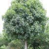 Acer platanoides افرای نروژی