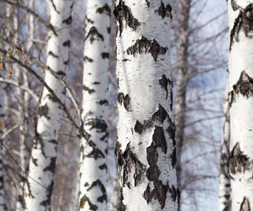 تنه درخت توس (غان)