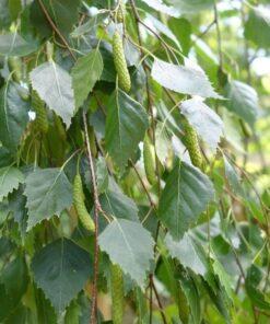 برگهای درخت توس (غان)