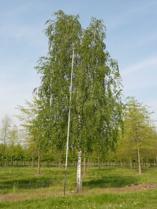 درخت توس (غان)