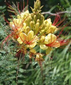 گلهای ابریشم مصری