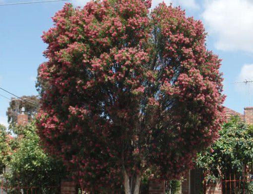 درخت کالیستمن